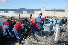 Helping to harvest oysters in Rikuzentakata