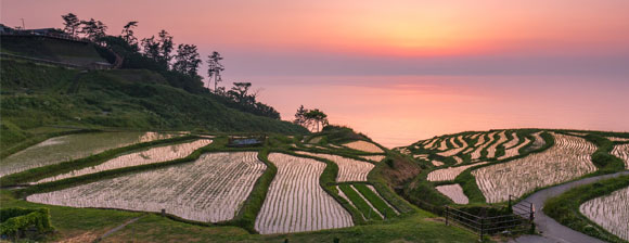 Fields cultivating rice against a colorful sunset