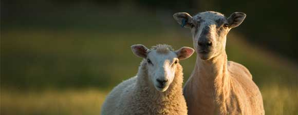 Two Ewes