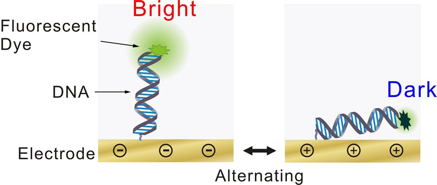 dna based biosensors in disease diagnosis biology essay The discovery will enable scientists to study the breadth and depth of cell biology golgi dysfunction and genetic diseases can influence the diagnosis of.