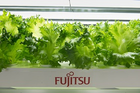 Picture: Lettuce cultivated in the Aizu Wakamatsu Akisai Plant Factory